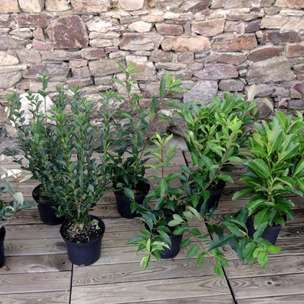 arbuste pour haie croissance rapide excellent haie de jardin pousse rapide brise vent jardin. Black Bedroom Furniture Sets. Home Design Ideas