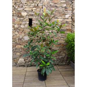Magnolia persistant  C35L H.125/150