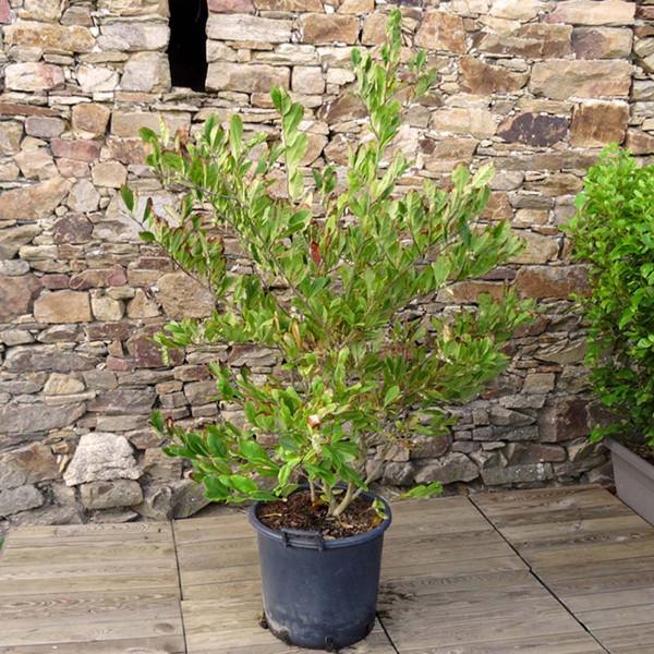 Magnolia étoilé C25-30L H.125/150