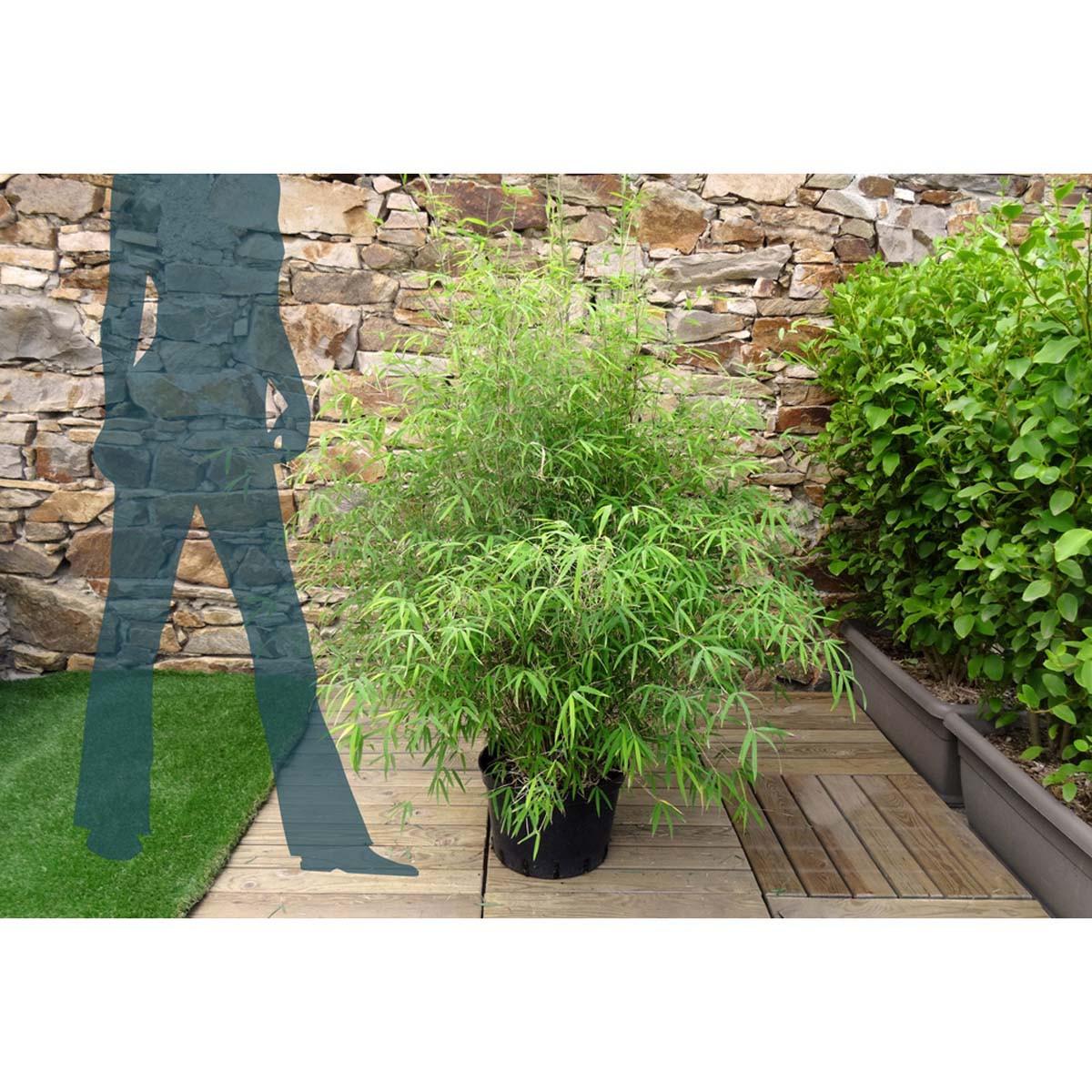 bambou non tra ant c15 20l mon jardin vivre. Black Bedroom Furniture Sets. Home Design Ideas