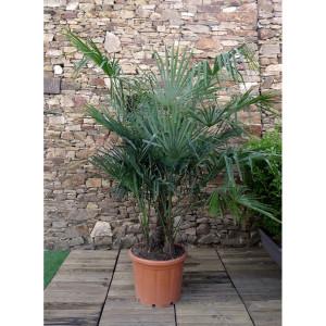 Trachycarpus fortunei cépée C70L H. 125/150