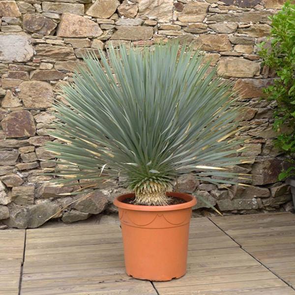 Yucca rostrata C30L H. 60/80